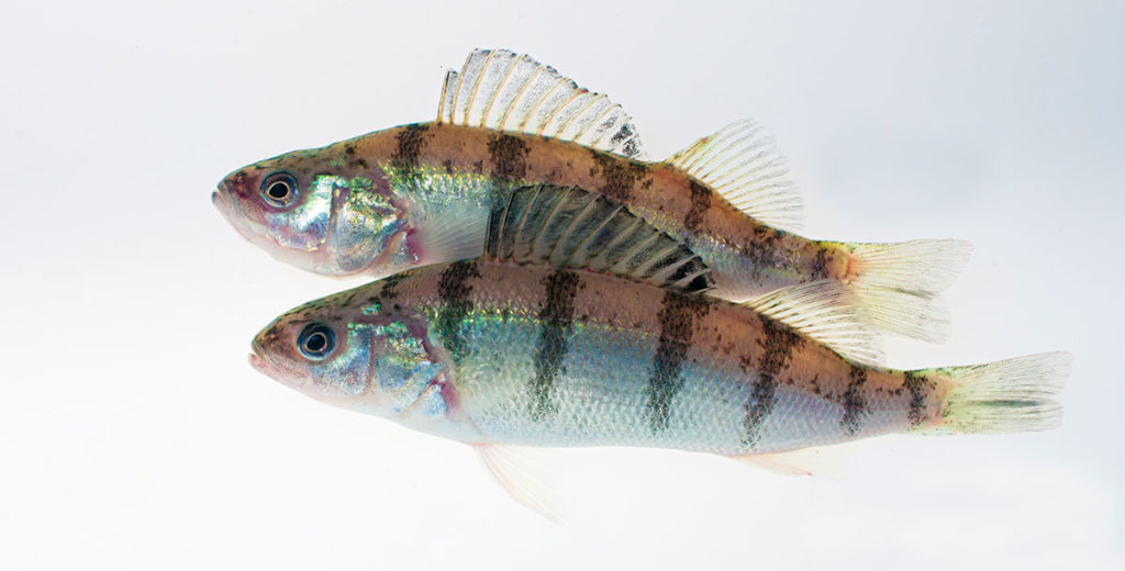 Farmory Perch photo